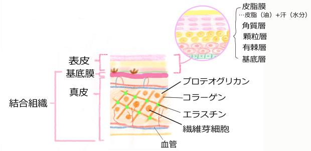 健康カラダ☆ 『 傷が修復する仕組 』